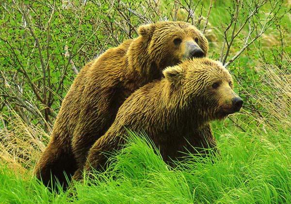 Как снашаются медведи